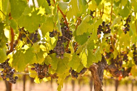 vine country: Red Grapes on the Vine Stock Photo