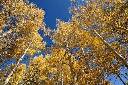 Aspen Trees with Blue Sky photo