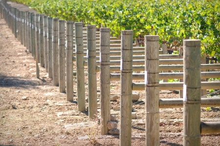 Rows of Grapes on the Vine Stock Photo - 15514171