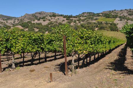 america countryside: Vineyard Stock Photo