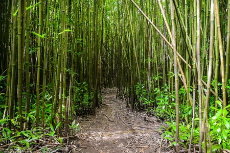 bamboo forest: Path through Bamboo Forest