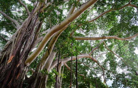 banyan tree: Banyan Tree in the Forest Stock Photo
