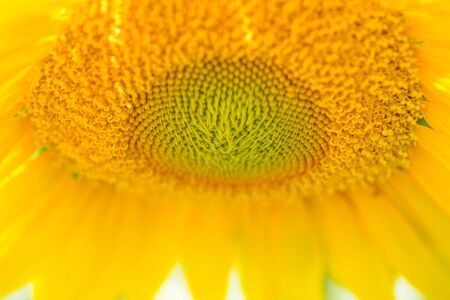 Sunflower Close Up photo