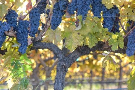 napa: Grapes on the Vine