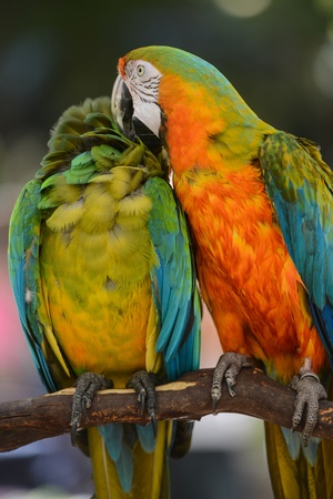 Two Colorful Macaws