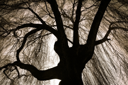 Scary Weeping Willow Tree Stockfoto