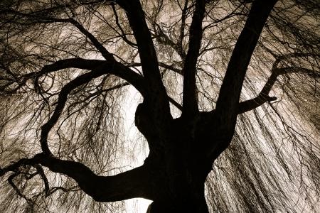 sauce: Weeping Willow Tree Scary Foto de archivo