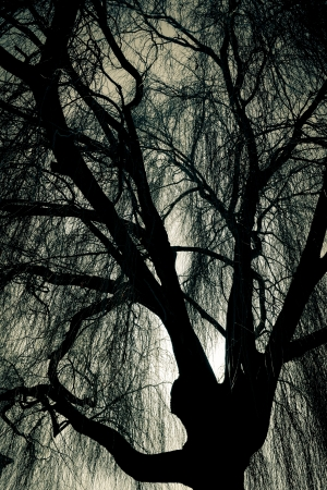 weeping willow: Scary Weeping Willow Tree Stock Photo
