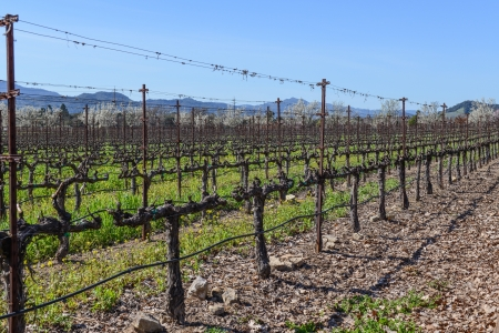 Rows of Vines in the Vineyard in Napa Valley California photo