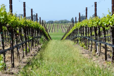 napa: Vineyard in Spring