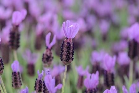 Purple Spanish Lavender Flower