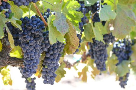 vine country: Red Wine Grapes on the Vine