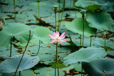 Pink Lotus Water Lilly Stock Photo - 21742451