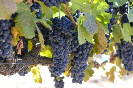sonoma: Red Wine Grapes on the Vine