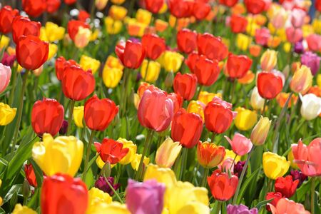 Tulip Garden in Spring photo