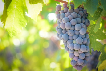 sonoma: Red Grapes on the Vine Stock Photo