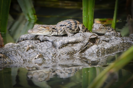 Crocodile with two Babies