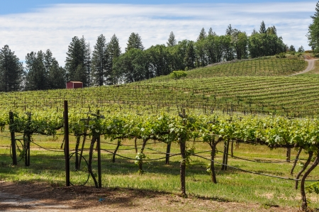 California Vineyard in Spring photo