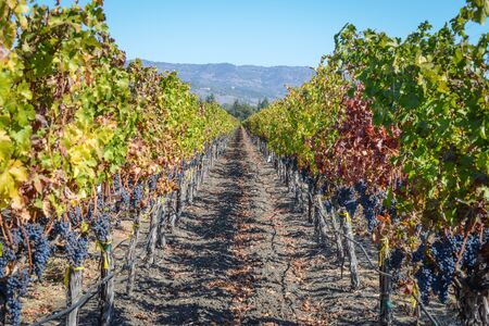 Vineyard in Autumn in Napa Valley California photo