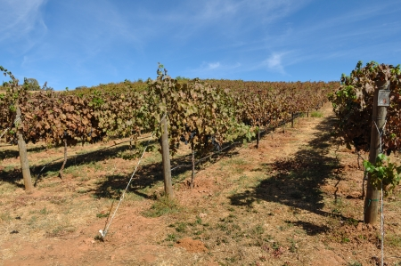 Vineyard in Autumn photo
