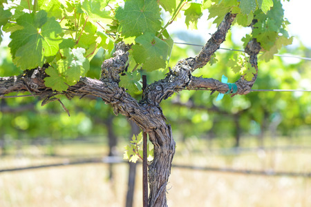 Grape Vine au printemps Napa Banque d'images - 26320449