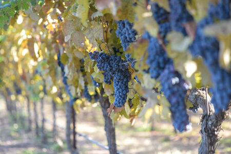 Grapes on the Vine in Autumn photo