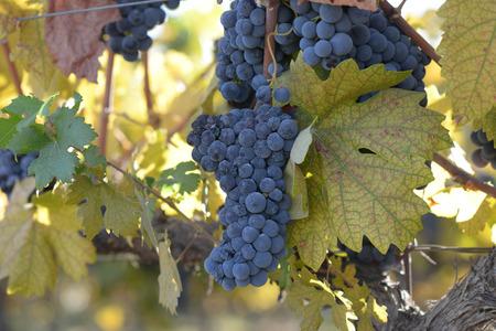 napa: Grapes on the Vine in Autumn