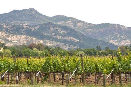 napa: Napa Valley Vineyard in the Spring Stock Photo