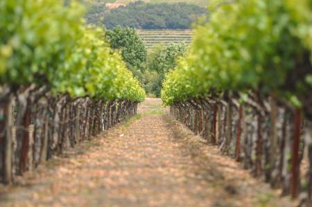 Wijn gaarden in de lente