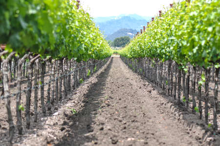 napa: Spring Vineyard in Napa Valley California Stock Photo