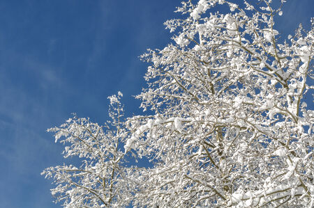 Snow Covered Branches against Blue Sky photo