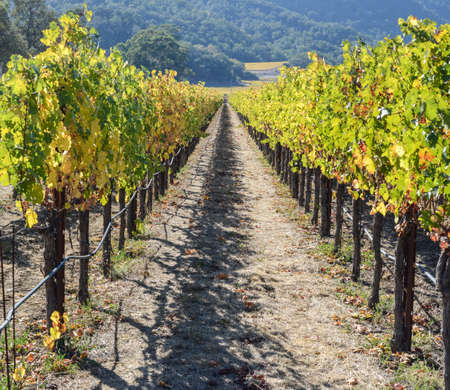 cabernet sauvignon: Napa Valley California Vineyard in Fall Autumn