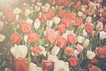 Tulip Garden in Spring photo