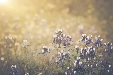 햇빛을 가진 복고풍 텍사스 블루 보닛 꽃
