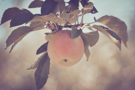 tree farming: Apple on a Tree in a Vintage Film Style Stock Photo