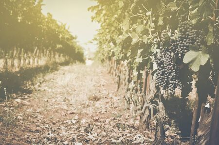 Vineyard  with Sunlight in Autumn with Vintage Film Style Filter photo