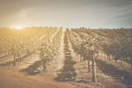 Vineyard with Blue Sky in Autumn with Vintage Film Style Filter photo