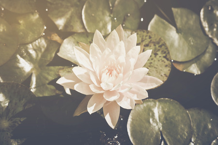 lily pad: Lotus Flower on Lily Pad in Retro Vintage Instagram Style