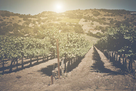 napa: Retro Vineyard with Sunlight with Vintage Instagram Film Style