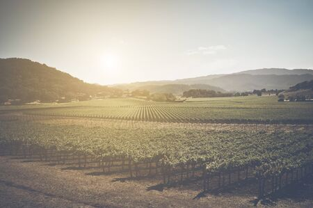 napa: Vineyard with Blue Sky in Autumn with Vintage Film Style Filter