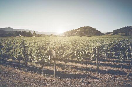 viñedo: Viñedo con el cielo azul en otoño con estilo película de la vendimia Filtro