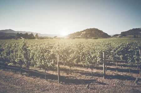 vineyard: Vineyard with Blue Sky in Autumn with Vintage Film Style Filter