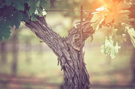 Grape Vine with Vintage