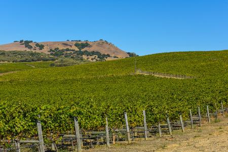 zinfandel: Napa Valley Vineyard