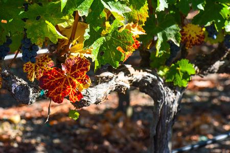 grapevine: Grapevine in the Autumn Season