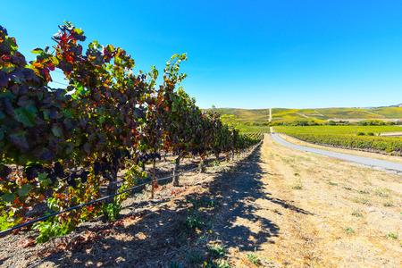 zinfandel: Vineyard in Napa Valley California