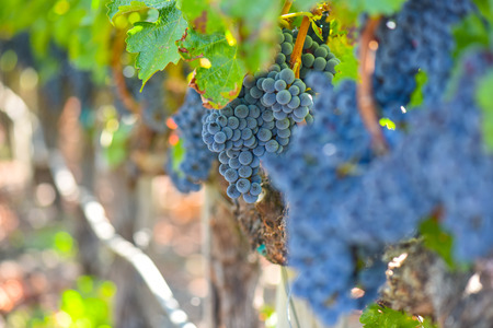 Grapes on the Vine in the Autumn Season
