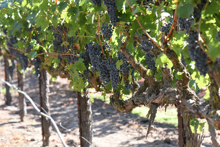 wineries: Red Wine Grapes on the Vine