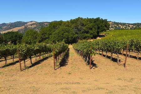 Napa Valley California Vineyard 版權商用圖片