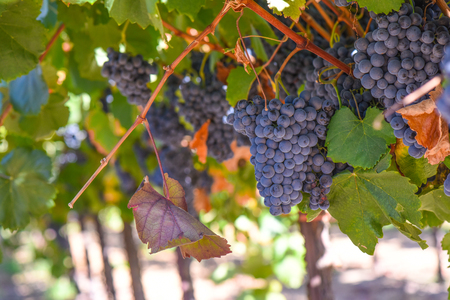 Red Wine Grapes on the Vine